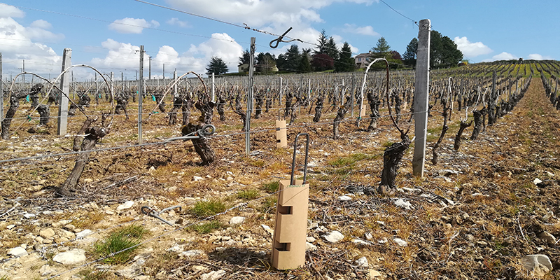 Un essai grandeur nature des manchons de protection vigne 100% biodégradables